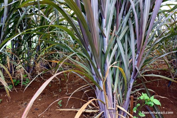 Ko Hana Rum Sugar Cane Pakaweli
