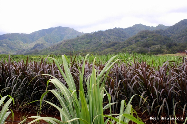 Ko Hana Rum Sugar Cane Rows