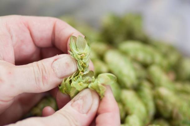 Lanikai Brewing Fresh hops